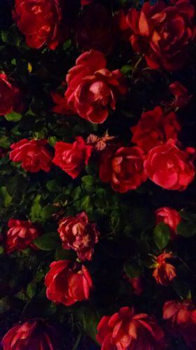 rickyhanson-ricky-hanson-roses
